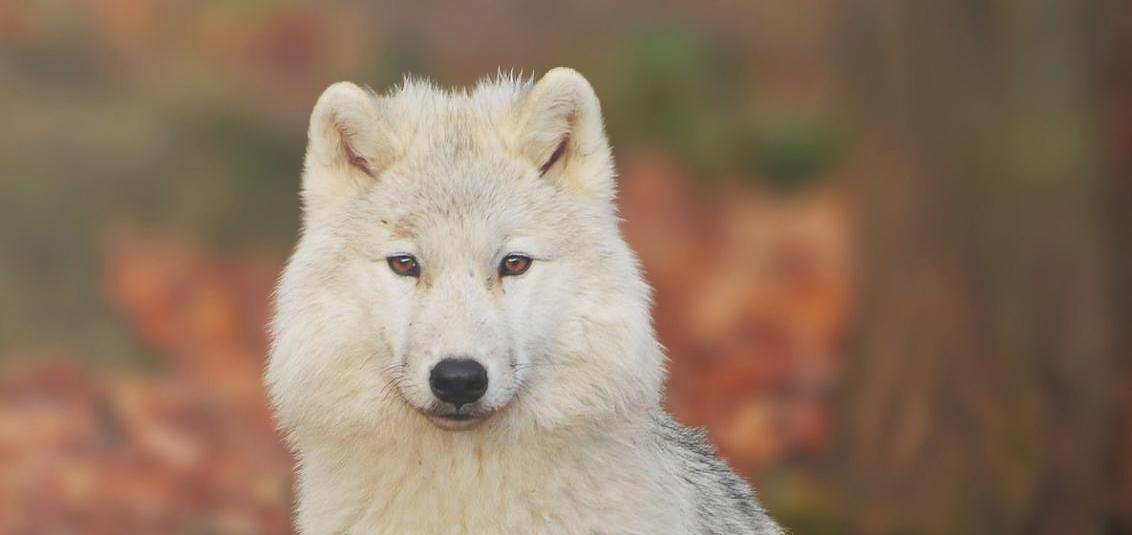 whitewolf.jpg